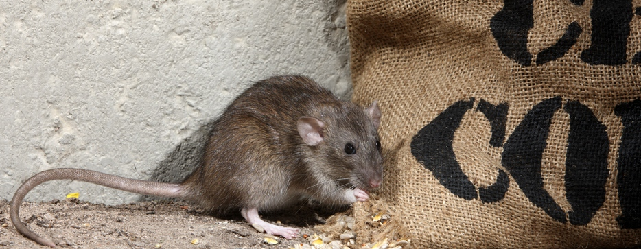 Brown_Rat